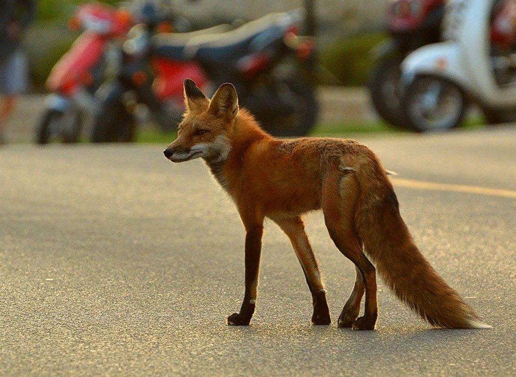 fox in a parking lot