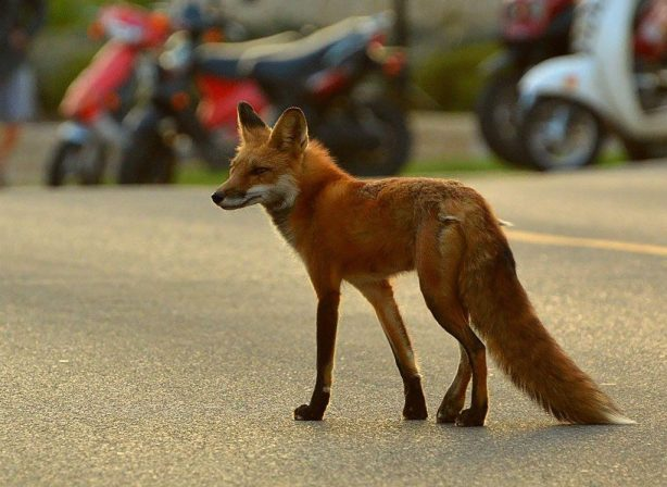fox in a parking lot